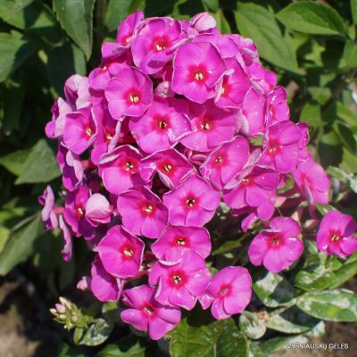 Phlox 'Adessa Rose Eye'