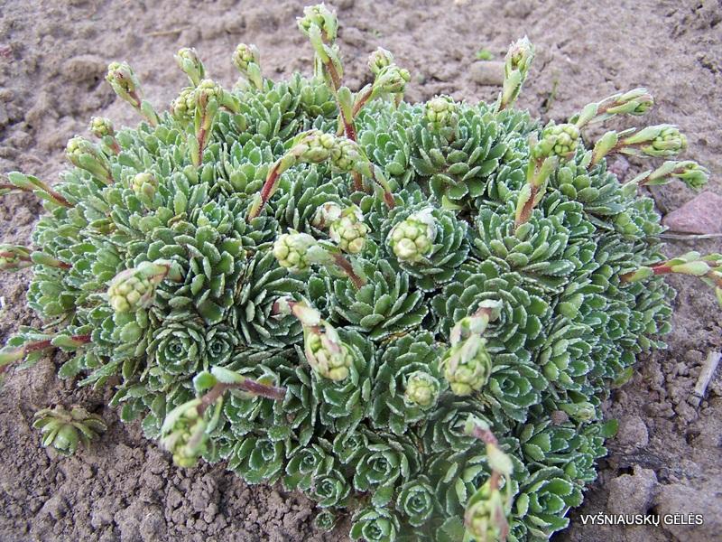 Saxifraga 'Rainsley Seedling' (2)