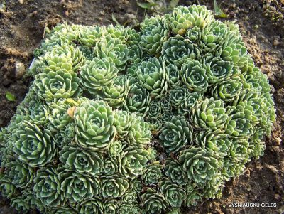 Saxifraga 'Rainsley Seedling'