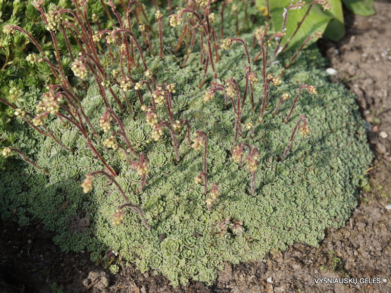 Saxifraga paniculata 'Minutifolia' (2)