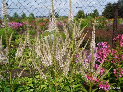 Veronicastrum virginicum 'Alboroseum' (2)