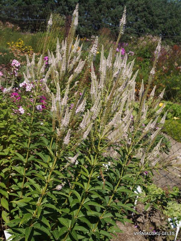 Veronicastrum virginicum 'Alboroseum' (3)