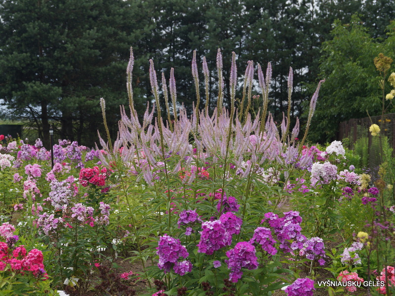 Veronicastrum virginicum 'Lavendelturm' (3)