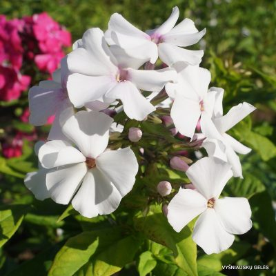 flioksai-'Balerina' (3)
