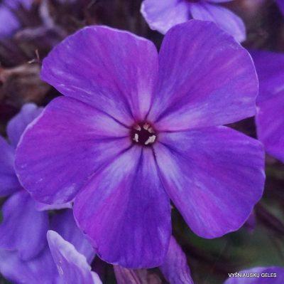 flioksai-'Blue-Night' (2)