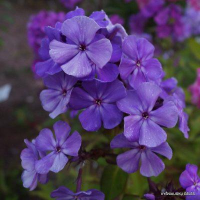flioksai-'Blue-Night'