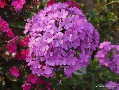 flioksai-'Lucs-Lilac' (2)