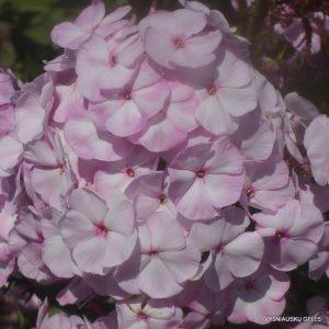 flioksai 'Tsvetushchaya Sakura'