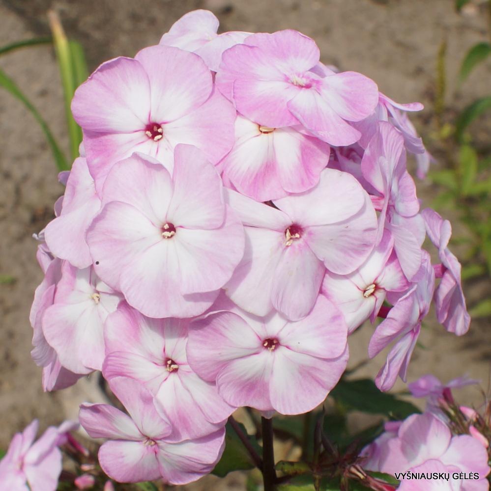 flioksai 'Tsvetushchaya Sakura' (3)
