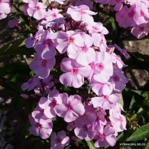 flioksai-Sweet-Summer-Favourite