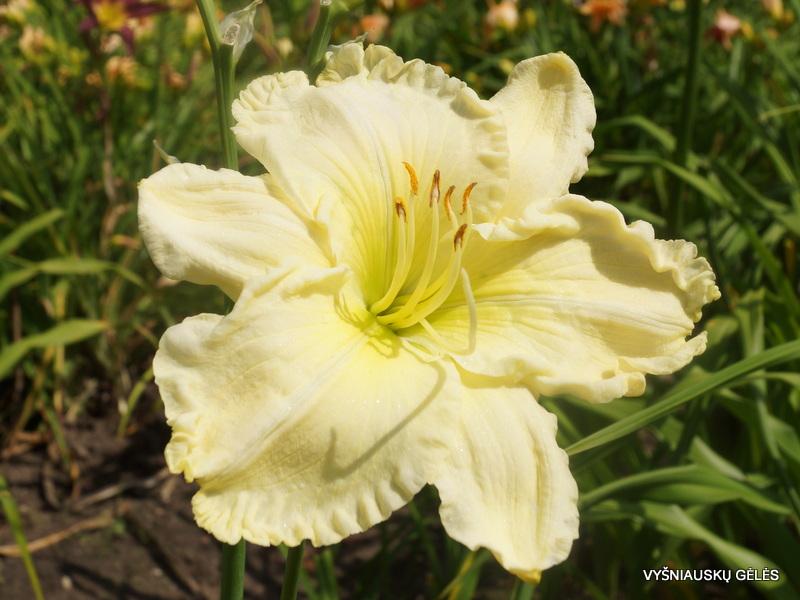 viendienės 'Heavenly White Swan' (3)