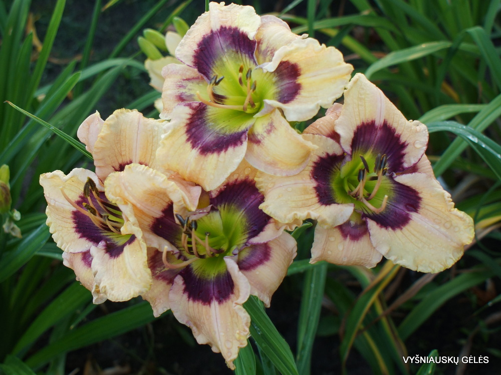 Daylily-Butterflies-and-Rainbows-3