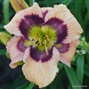 Daylily-Butterflies-and-Rainbows