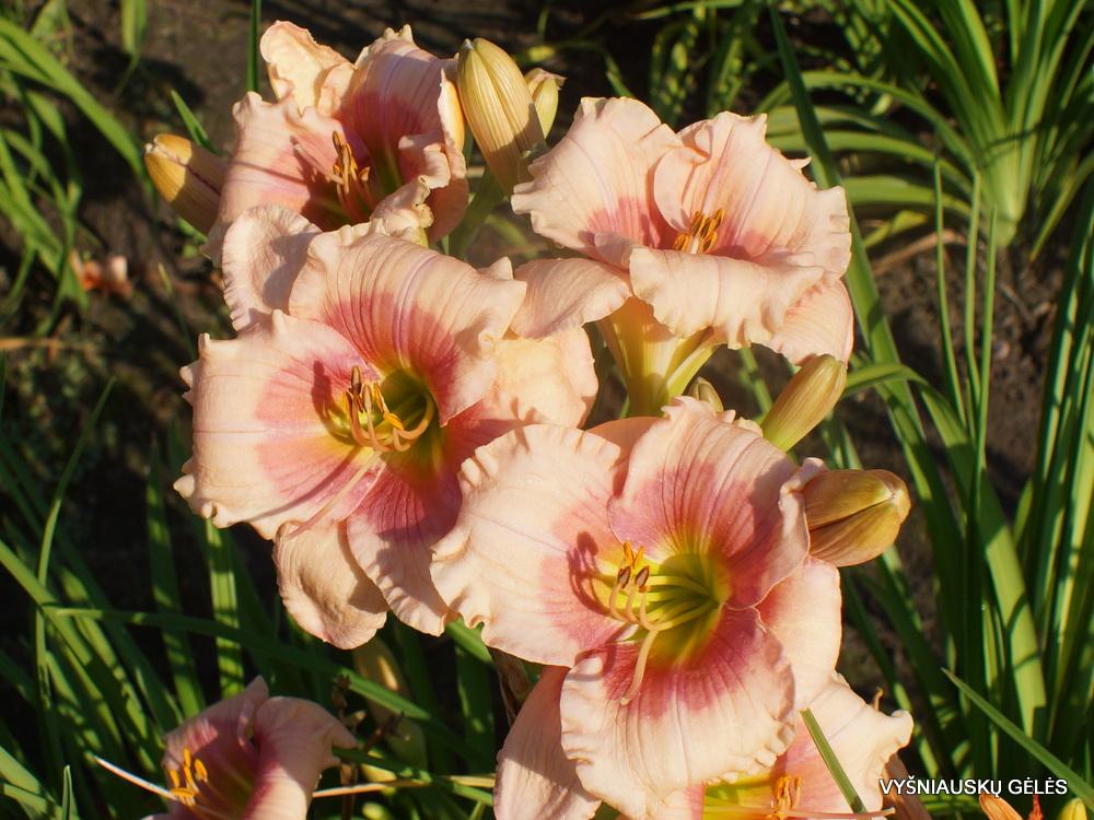 Daylily-Daylily-Janice brown