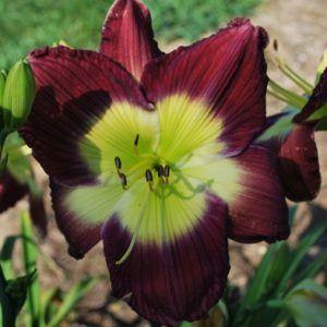 Daylily-Evidence-Of-Royalty-1