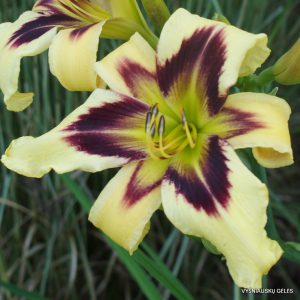 Daylily 'Eye of Truth'