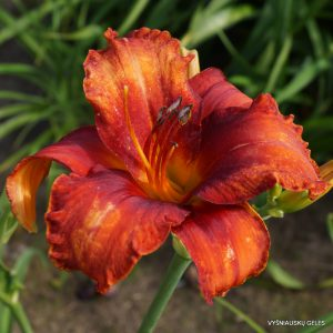 Daylily 'Flaming Flamingo'