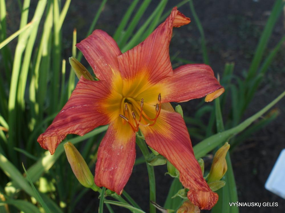 Daylily 'Flaming Red Pinwheel' (3)
