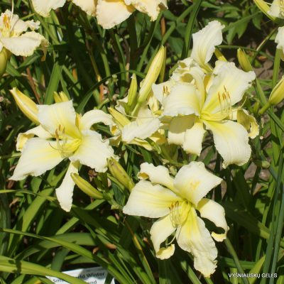 Daylily 'Fortress of Solitude' (2)
