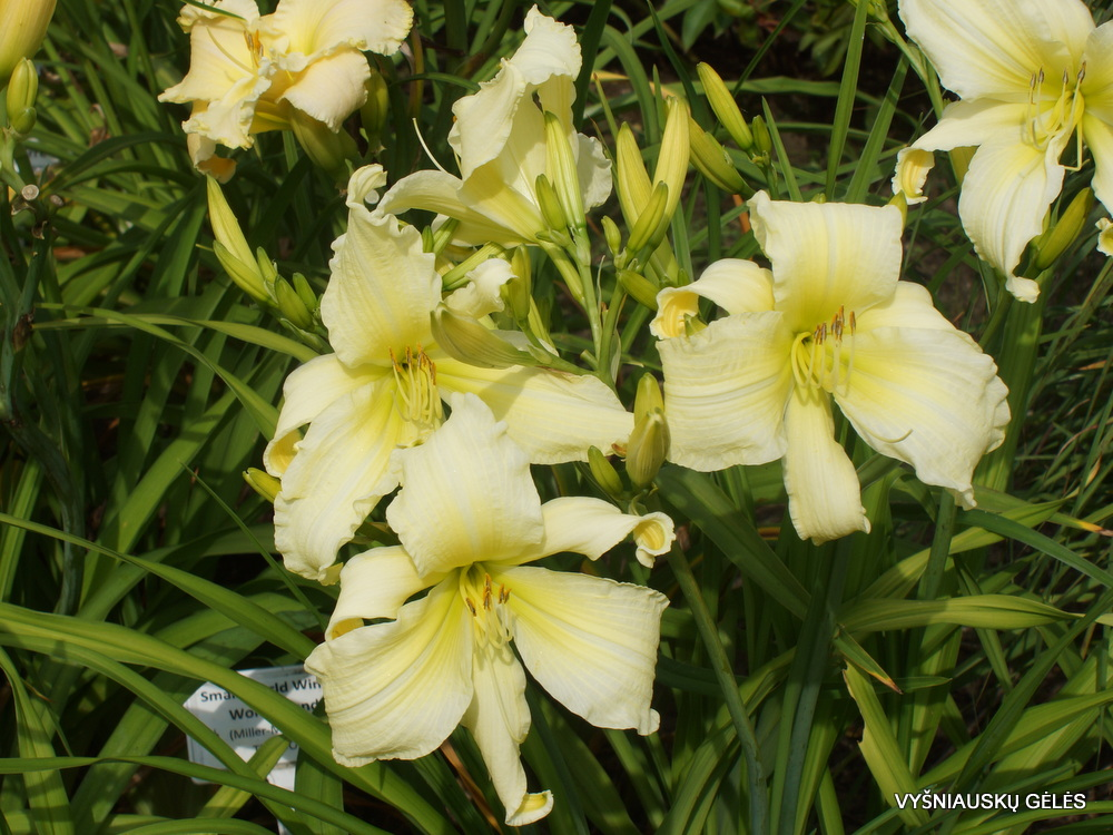 Daylily 'Fortress of Solitude' (3)