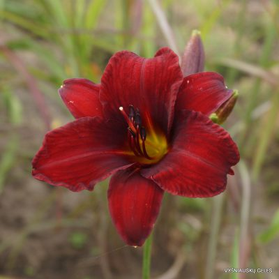 Daylily 'Fountain Of Blood'