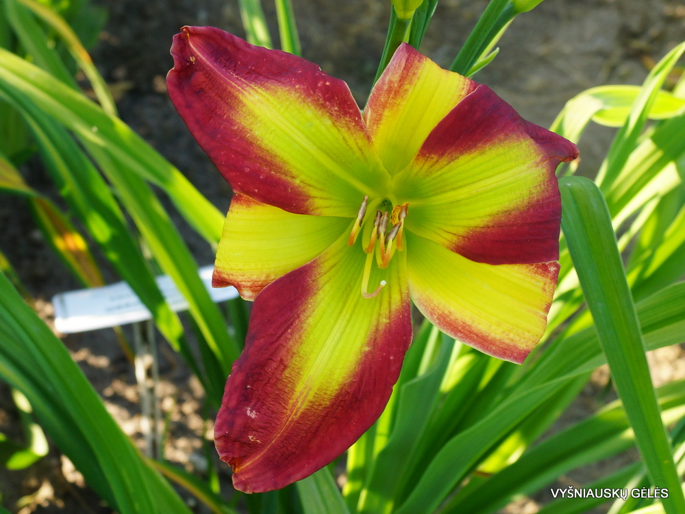 Daylily 'Fried Green Tomatoes' (3)