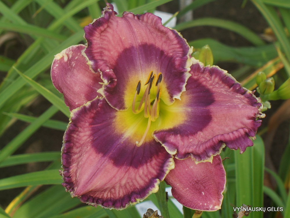 Daylily 'God Save the Queen' (3)