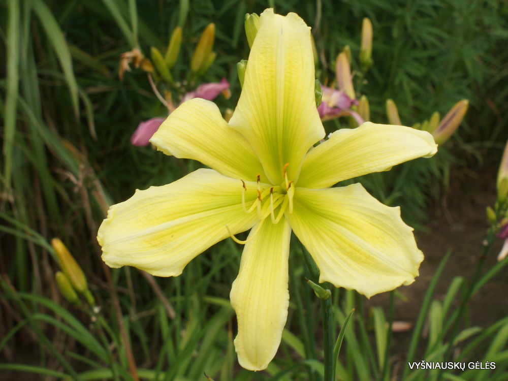 Daylily 'Green Twister' (2)