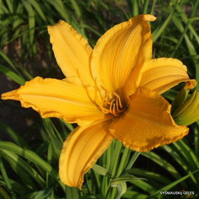 Daylily 'Gussie Haris'