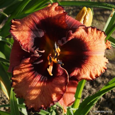 Daylily 'Halloween Masquerade' (2)