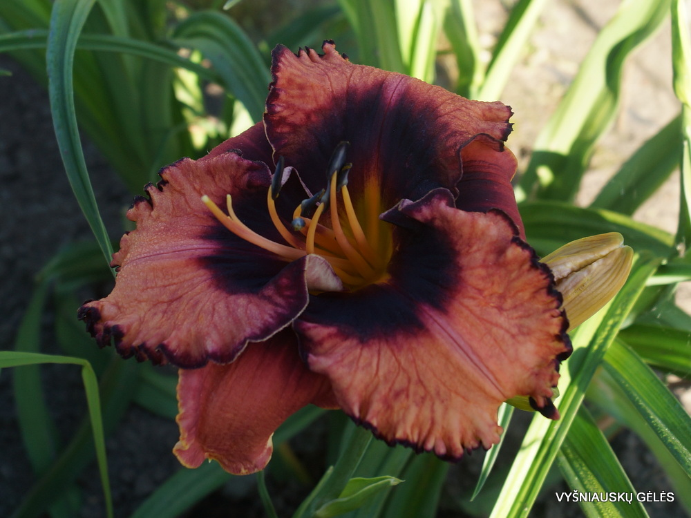 Daylily 'Halloween Masquerade' (3)