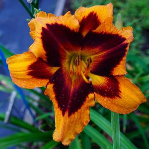 Daylily-Heavenly-Bengal-Tiger