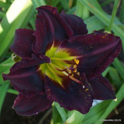 Daylily 'Heavenly Black Bird' (2)