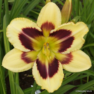 Daylily 'Heavenly Dark Matter' (2)