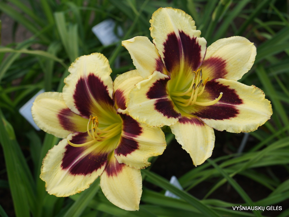 Daylily 'Heavenly Dark Matter' (3)