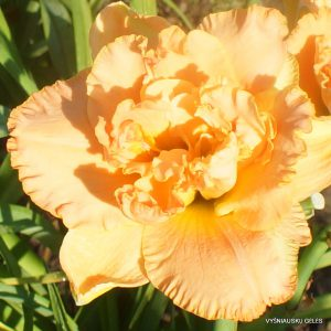 Daylily 'Heavenly Double Trouble'