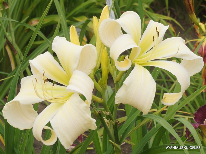 Daylily-Isabelle-Rose-3