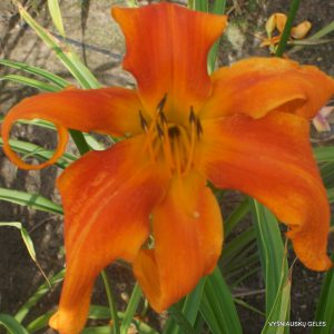 Daylily 'King Crab'