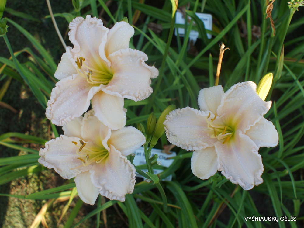 Daylily 'Let Me Be Clear' (3)
