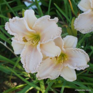 Daylily 'Let Me Be Clear'