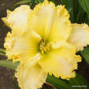 Daylily-Malcolm-David-Brooker-Senior