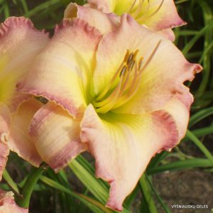 Daylily 'Memorable Kiss'