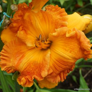 Daylily 'Over Heated'