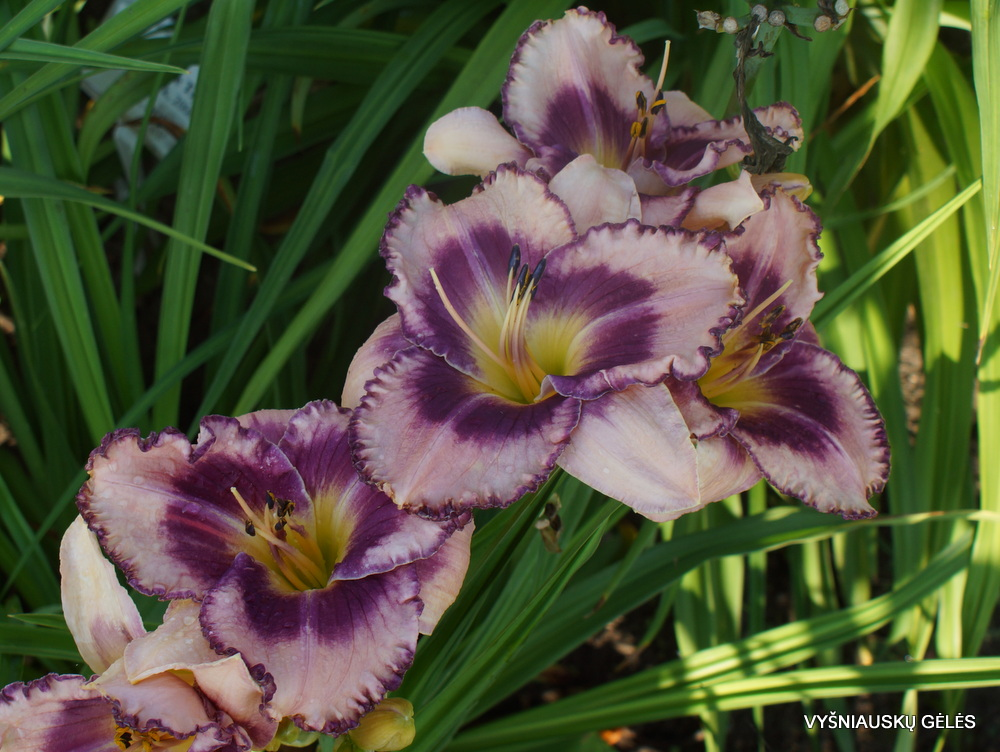 Daylily 'Regal Braid' (3)