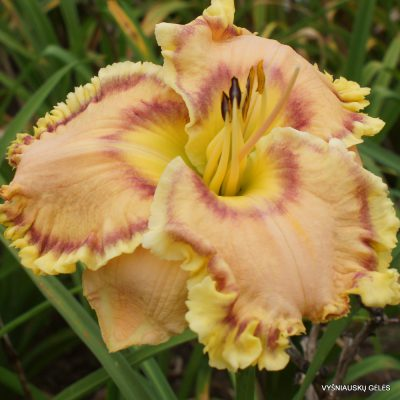 Daylily 'Regina of Gascone' (2)