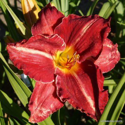 Daylily-Rose-Blast