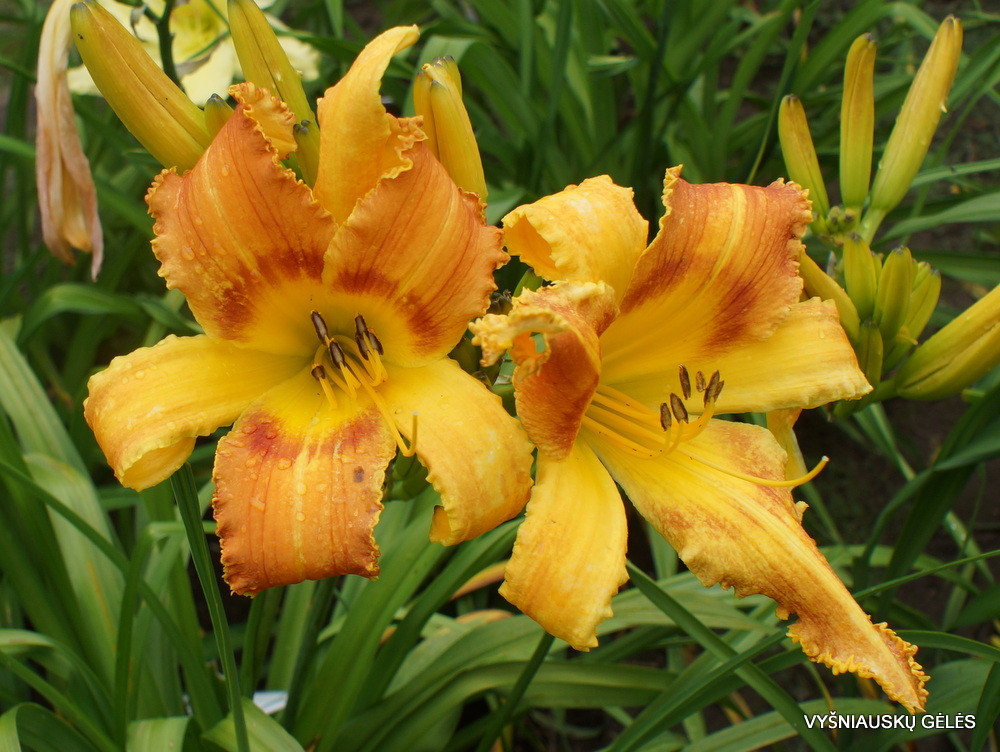 Daylily 'Saber Tooth Tiger' (2)