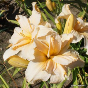 Daylily 'Scatterbrain'