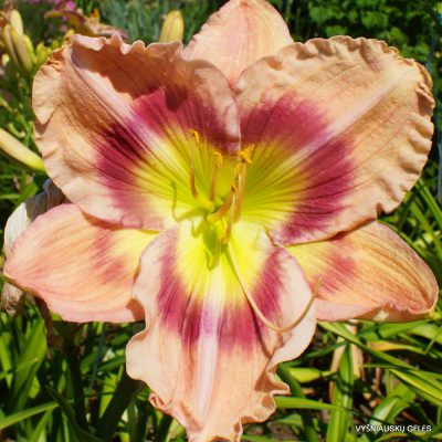 Daylily-Sight-for-More-Eyes-3-1