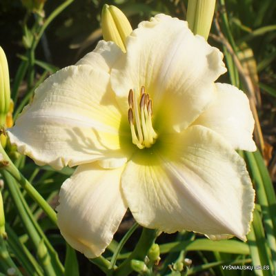 Daylily 'Spacecoast White Out' (2)